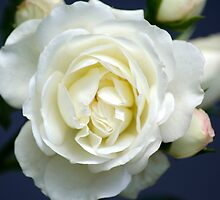 White Rose Bloom by Christina Rollo