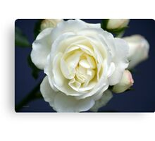 White Rose Bloom Canvas Print