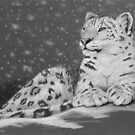 Evening Snow - Snow Leopard by Heather Ward