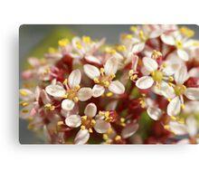 Macro of Scimmia flowers Canvas Print