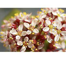 Macro of Scimmia flowers Photographic Print