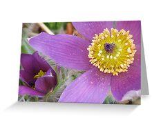 Easter Flower (Pasque Flower) Greeting Card