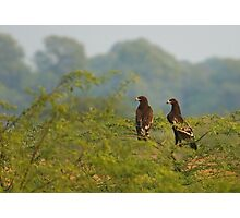 Greater spotted Eagles Photographic Print