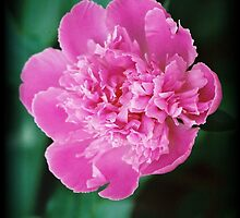 Lush Peony by Polly Peacock