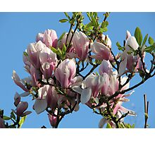 Magnolia Tree Photographic Print