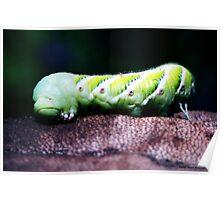 Tomato Caterpillar Hornworm Poster