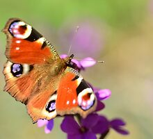 Majestic Visitor - Butterfly by Tamara Al Bahri
