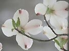 ~Pink Tinged Dogwood Blossoms~ by NatureGreeting Cards ©ccwri