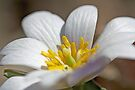 Bloodroot Wildflower - Sanguinaria canadensis by MotherNature