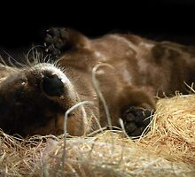Sleeping Otter  by Annafur