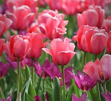 Pink Tulips by jpulley