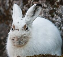 mountain hare by peterwey