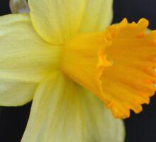 Daffodil Three-Quarter View Sticker