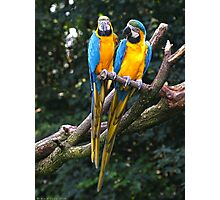 Blue-and-yellow macaw Photographic Print