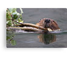 Beaver and Reflection Canvas Print
