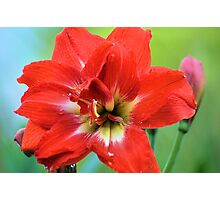 Double Amaryllis Photographic Print