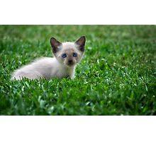 Siamese Kitten Photographic Print