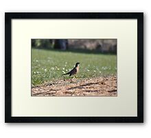 A surprising social robin Framed Print