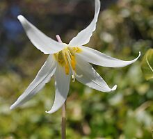 A white fawn lilly by TheKoopaBros