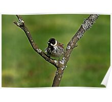 Reed Bunting (female) Emberiza Schoeniclus Poster