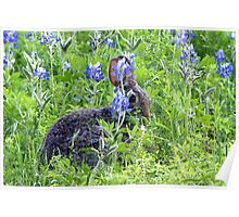 Cottontail N Bluebonnets Poster