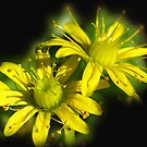 Yellow Succulent Flower by Bev Pascoe