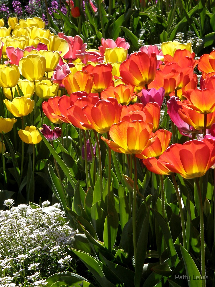 Diaphanous Sunshine ~The Tulips Bloom by Patty Boyte