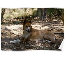 Interbreeding of dingoes with Poster