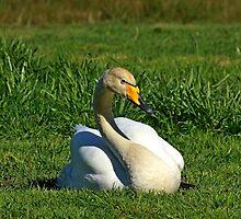 Whooper Swan sitting on grass by Robert Flynn
