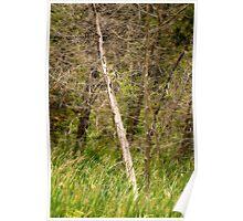 Swamp Pines Poster