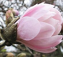 Pink Magnolia by Monnie Ryan