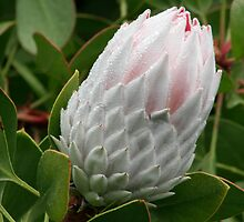 Protea beauty by Kellea Croft