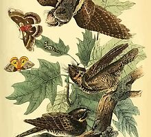 James Audubon Vector Rebuild - The Birds of America - From Drawings Made in the United States and Their Territories V 1-7 1840 - Whip Poor Will by wetdryvac