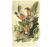 James Audubon Vector Rebuild - The Birds of America - From Drawings Made in the United States and Their Territories V 1-7 1840 - American Robin Poster