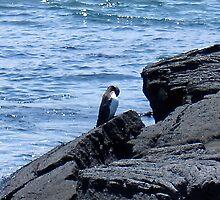 Galapagos Penguin by rachelj