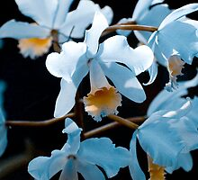 Orchids Blue by Craig  Worth