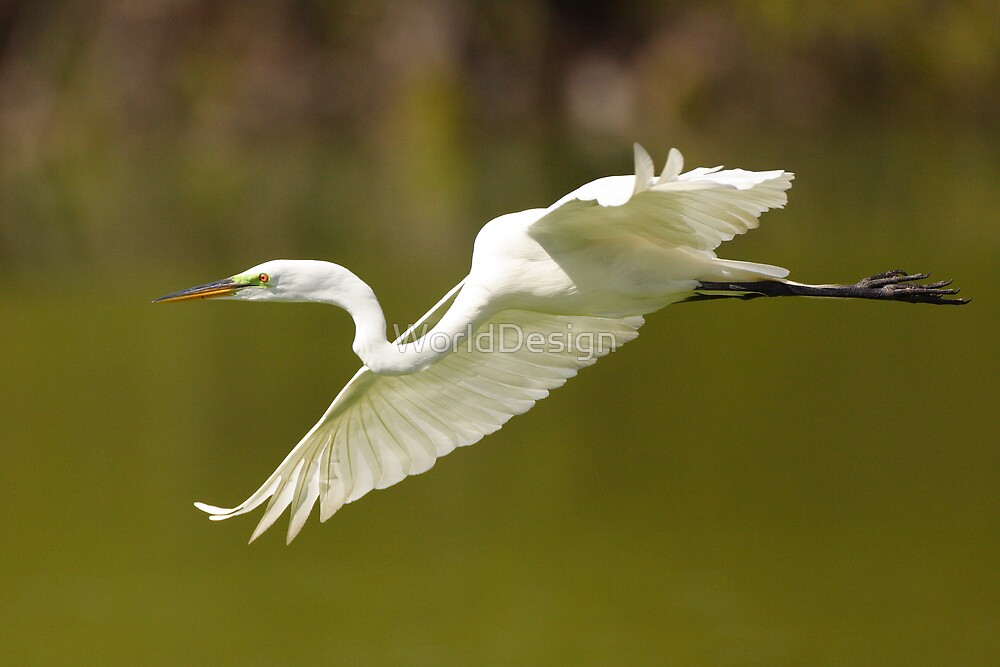 Great White Egret in Flight by William C. Gladish