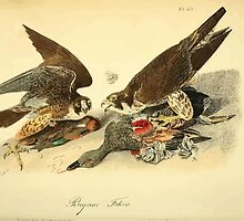 James Audubon Vector Rebuild - The Birds of America - From Drawings Made in the United States and Their Territories V 1-7 1840 - Perigrine Falcon by wetdryvac