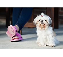 Shih tzu pet Photographic Print