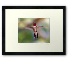 Broad-tailed Hummingbird in Flight Framed Print