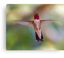 Broad-tailed Hummingbird in Flight Canvas Print