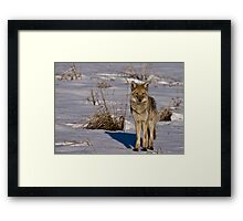 Snowy Coyote Framed Print