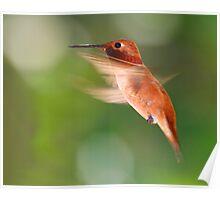 Rufous Hummingbird in Flight Poster