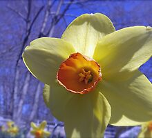 One Daffodil Arrived...Then the Others All in Bloom! by Jack McCabe