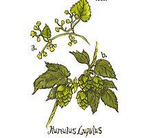 Humulus Lupulus - Hops by Sara Wilson