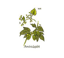 Humulus Lupulus - Hops Photographic Print