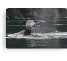 Humpback Whales in Motion Canvas Print