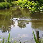 Swan on the River Itchen, Hampshire, southern England by Philip Mitchell