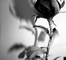 The Shadow of a Rose by StephLanfear
