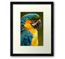 Macaw with Ruffled Feathers Framed Print